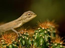 garden lizard india