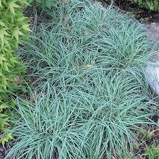 carex blue zinger blue ornamental grass sedge or moist soils