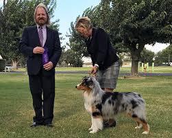australian shepherd 2015 westminster chances u0027 r australian shepherds u2022 news