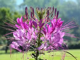 Cleome Flower - 25 best spider flower cleome images on pinterest flowers