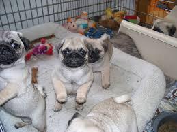 pugguide com daily pug pictures news tips u0026 training advise