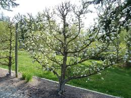 pear trees suitable for espalier u2013 tips on growing espalier pear