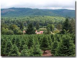 noble fir christmas tree noble fir christmas trees available for delivery in los angeles