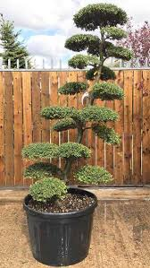 Topiary Cloud Trees - large cloud tree many years old buy uk