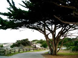 balms asilomar trees