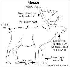 moose printout enchantedlearning