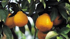 When Does A Lemon Tree Produce Fruit - how to grow lemon trees at home with p allen smith youtube