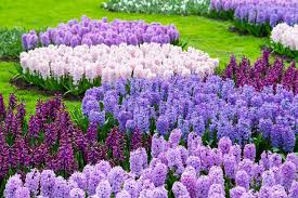 hyacinth flower hyacinths growing and care of hyacinth flowers garden design