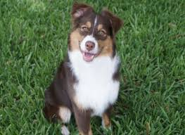 australian shepherd vocal peace creek mini aussies miniature australian shepherds in florida