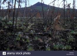 native alaskan plants plants growing after forest fire white mountains alaska stock