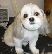 Dog Grooming Styles Haircuts Dog Grooming Business Courses Of Study