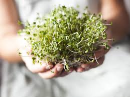 broccoli sprouts nutrition nutrition daily