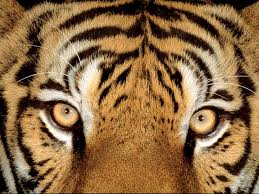 the meaning and symbolism of the word tiger