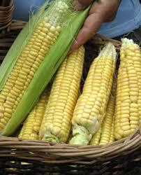 grow sweet corn in your own backyard toronto star