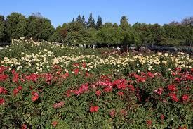 panoramio photo of municipal rose garden san jose california