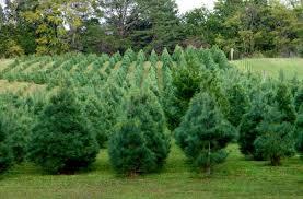 white pine trees white pine acres