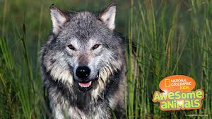 gray wolf pictures facts and map