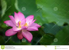 Lotus Flower Bloom - close up of a delicate pink lotus flower in full bloom stock photo