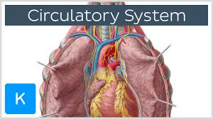 Anatomy And Physiology Definitions Circulatory System Function Definition U0026 Anatomy Human