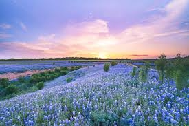 sunset at a bluebonnet field texas image library texas