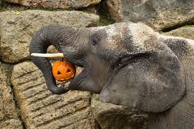 oh my gourd adorable zoo animals play with halloween pumpkins