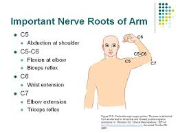 Biceps Reflexes Accessphysiotherapy Burke Doe Slide
