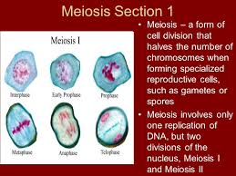 meiosis and sexual reproduction ppt video online download