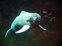 Male Dolphin Anatomy Dolphin Wikipedia
