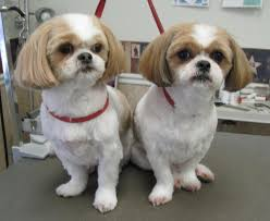 shih tzu haircuts shih tzus feeling clean and pretty after