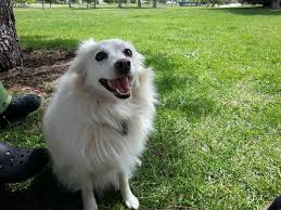 american eskimo dog small white dog diary online august 2013
