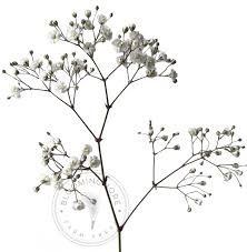 babys breath wholesale baby s breath million free shipping nationwide