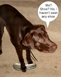 Chocolate Lab Meme - chocolate lab the nature of things