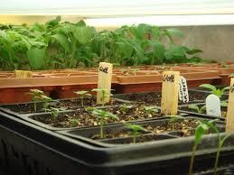 growing herbs indoors under lights starting seeds indoors under lights the door garden