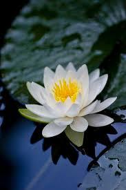 Blue Lotus Flower Meaning - 25 best white lotus flower ideas on pinterest white lotus