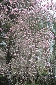 Pink Spring Flowering Shrubs - gardening and gardens spring flowering trees