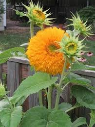 teddy sunflowers sunflower teddy i these soft fluffy cushion like