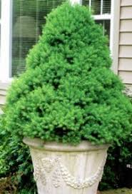 evergreen trees everything you wanted to fast growing