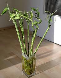 images of house plants types of bamboo house plants house