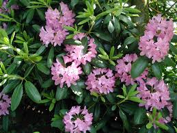propagating native plants how to propagate rhododendrons and azaleas from cuttings welcome