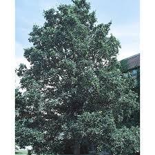 White Oak Tree Shop 8 99 Gallon Swamp White Oak Shade Tree L9931 At Lowes Com