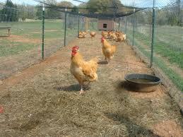 Backyard Chicken Breeds by Chicken Breeds Oklahoma With Silkies Backyard Chicken Breeds