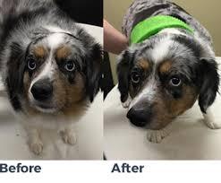 australian shepherd haircuts pet grooming tempe az sun devil animal hospital u0026 pet resort