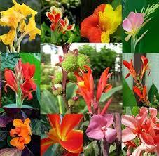Canna Lilies Canna Lily Buy Canna Lily Product On Alibaba Com