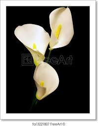 white calla free print of three white calla isolated on black