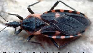 What Causes Bed Bugs To Come Bed Bugs Can Transmit Parasite That Causes Chagas Disease