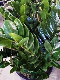 house plants that don t need light our favorite low light houseplants boston ferns low lights and