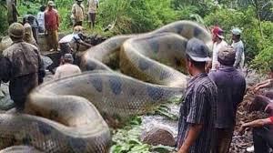Film Ular Phyton | animal fight video asli ular phyton raksasa melawan manusia