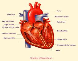 Diagram Heart Anatomy Hd Wallpapers Labelled Diagram Heart Aqz Earecom Press