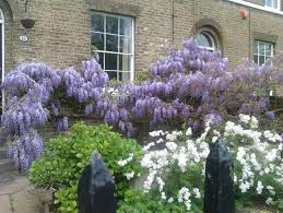 forget me not wisteria the importance of pruning