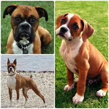 boxer dog with full tail 10 popular dog breeds of 2015 just 4 pet care